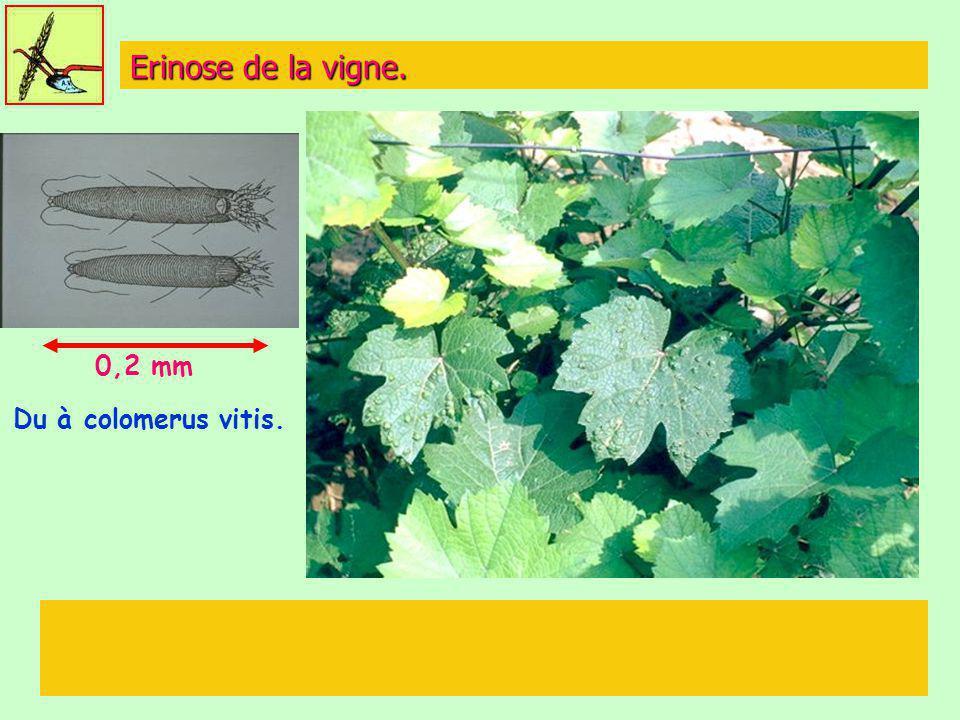 Erinose de la vigne. 0,2 mm Du à colomerus vitis.