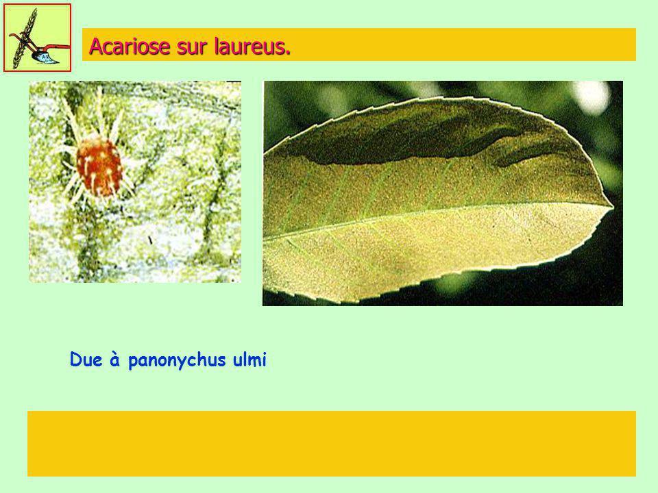 Acariose sur laureus. Due à panonychus ulmi