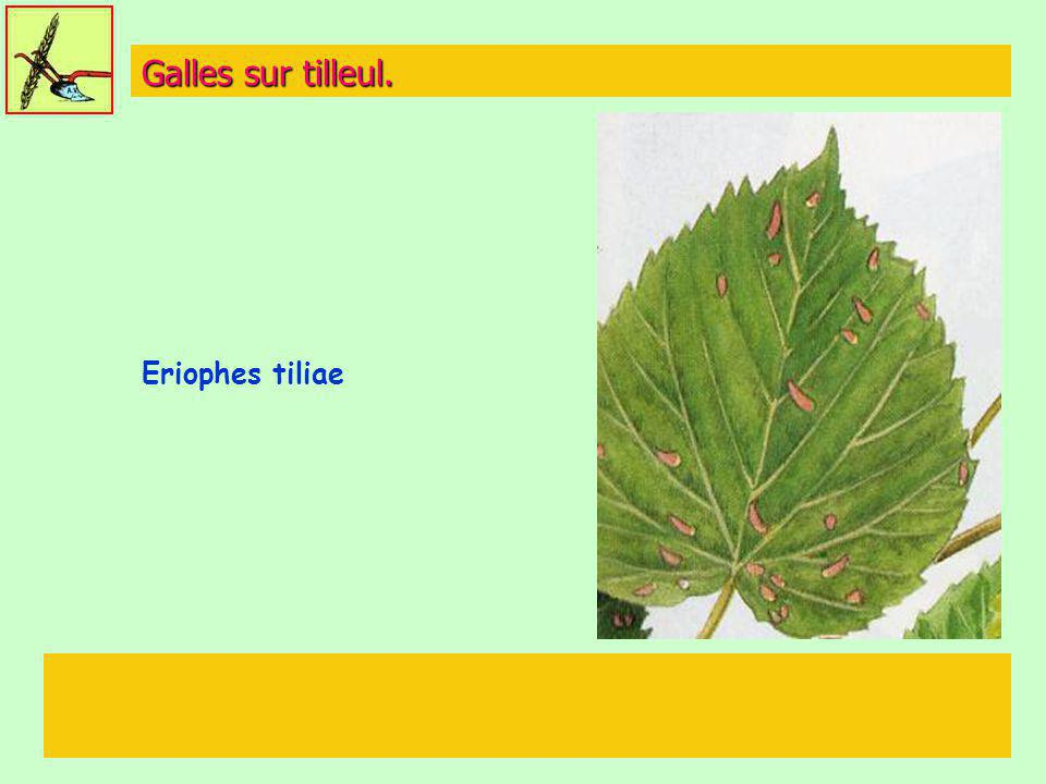 Galles sur tilleul. Eriophes tiliae