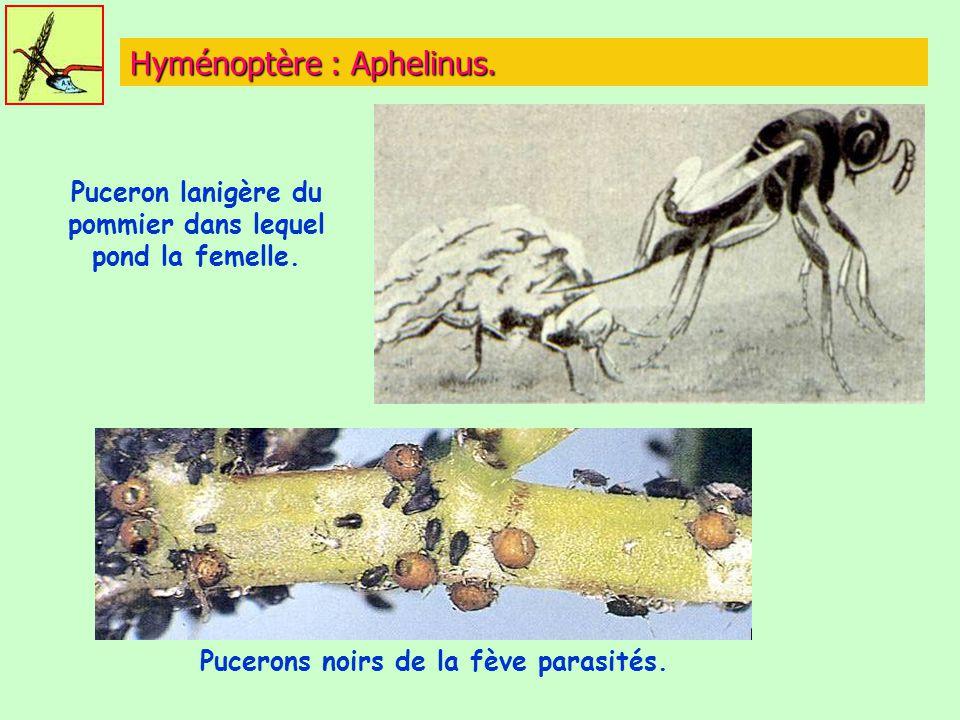 Hyménoptère : Aphelinus.