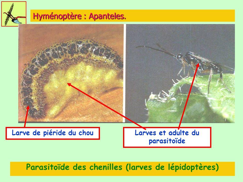 Hyménoptère : Apanteles.