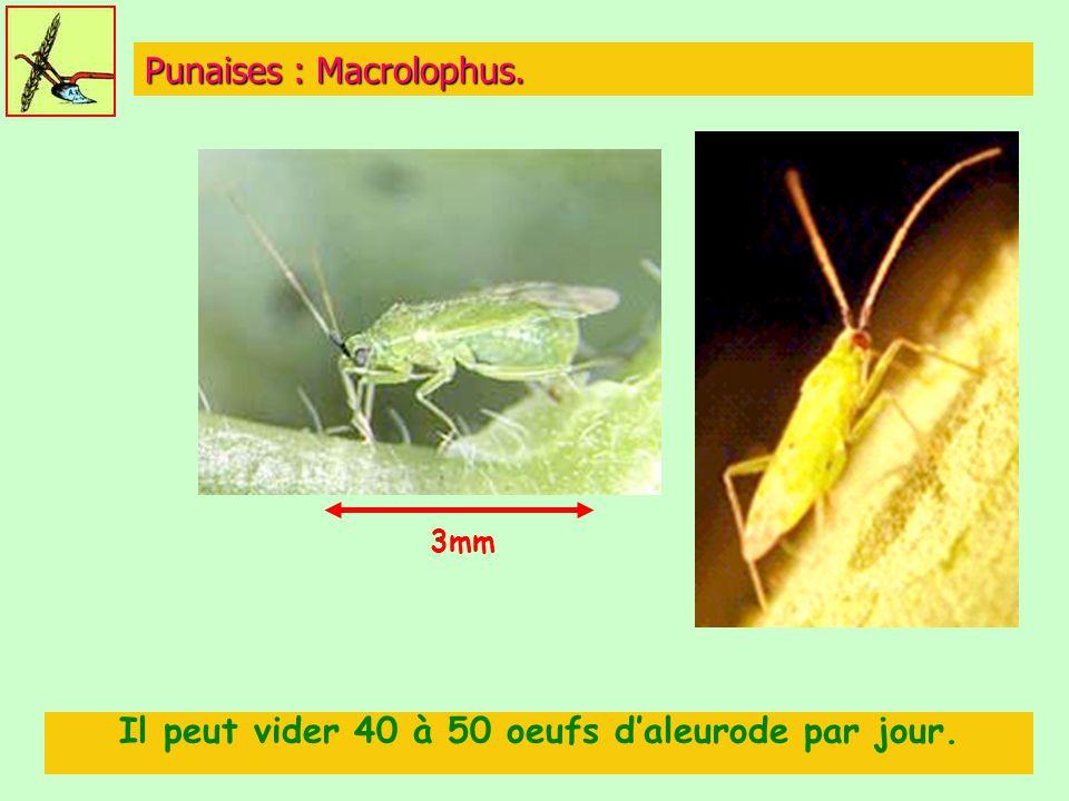 Punaises : Macrolophus.