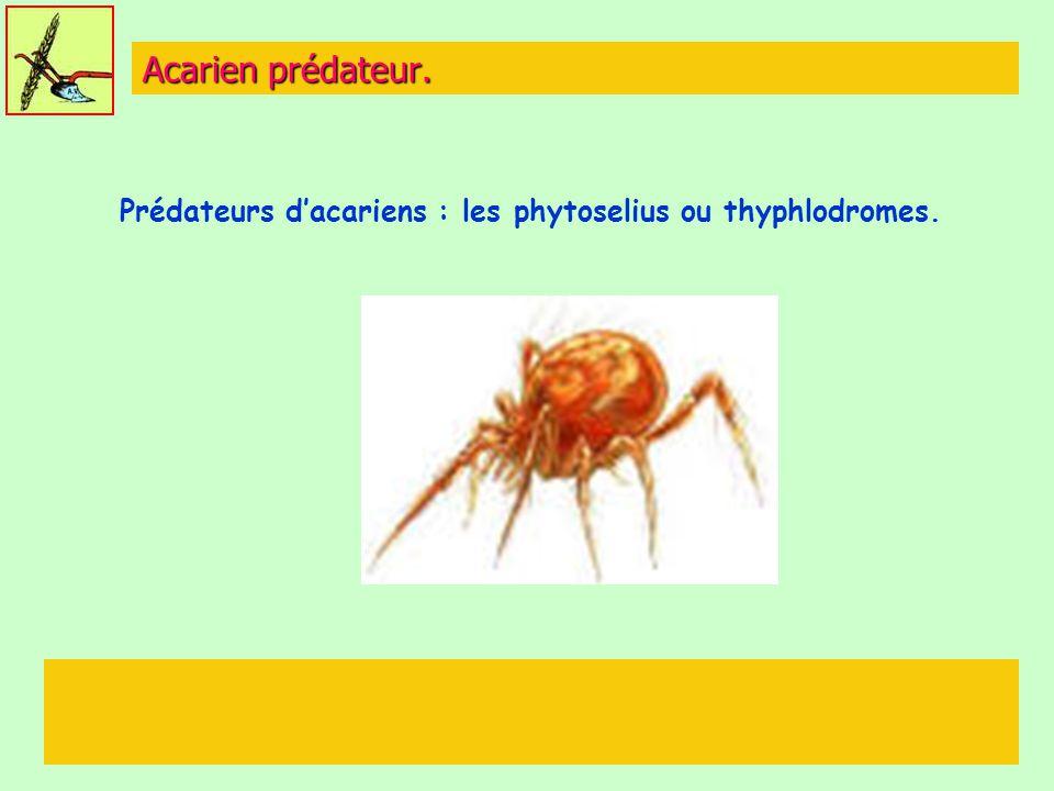 Prédateurs d'acariens : les phytoselius ou thyphlodromes.