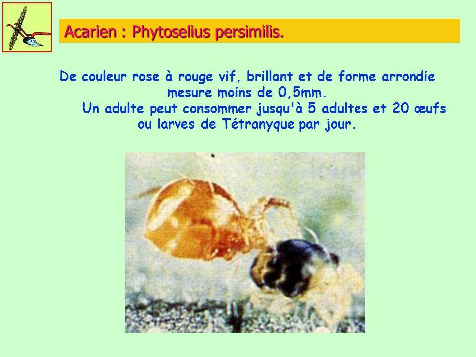 Acarien : Phytoselius persimilis.
