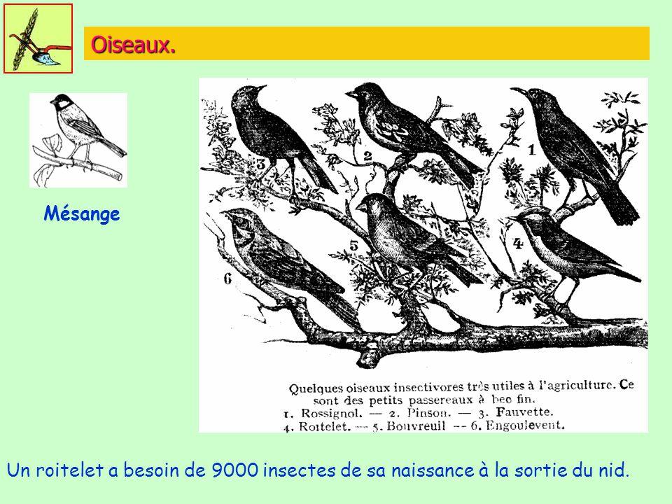 Oiseaux. Mésange Un roitelet a besoin de 9000 insectes de sa naissance à la sortie du nid.