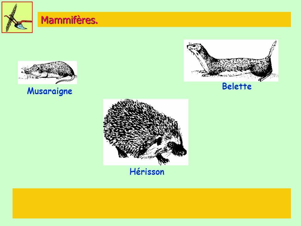Mammifères. Belette Musaraigne Hérisson