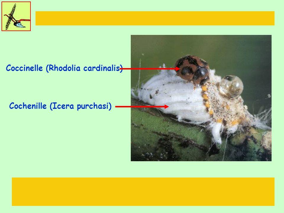Coccinelle (Rhodolia cardinalis) Cochenille (Icera purchasi)