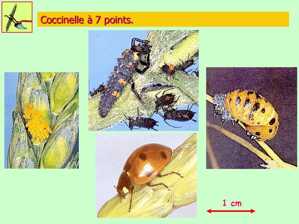 Coccinelle à 7 points. 1 cm