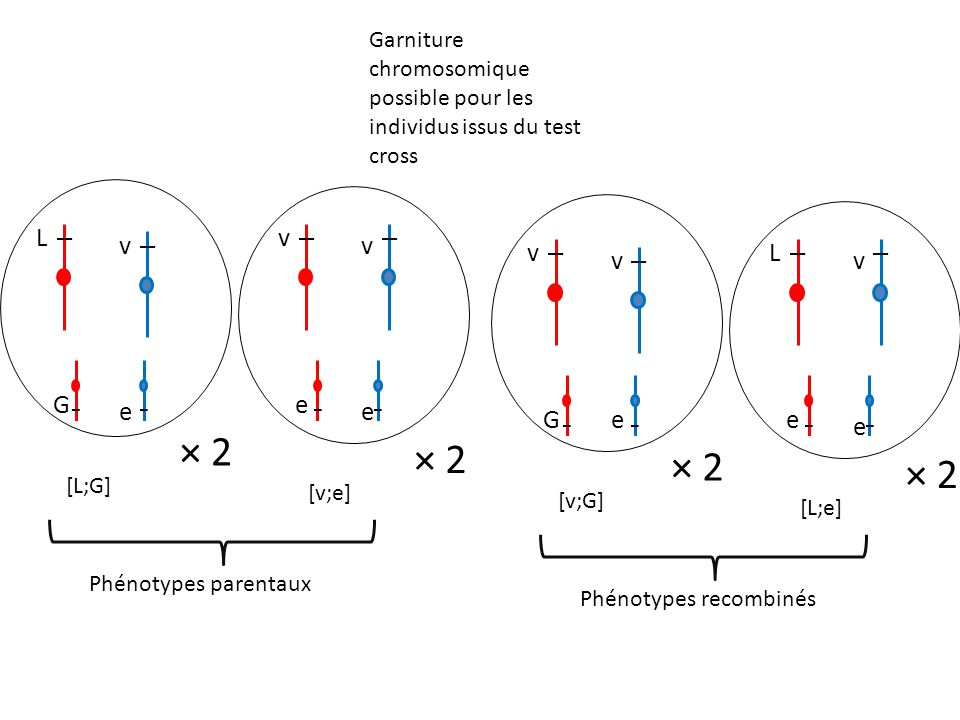 Garniture chromosomique possible pour les individus issus du test cross