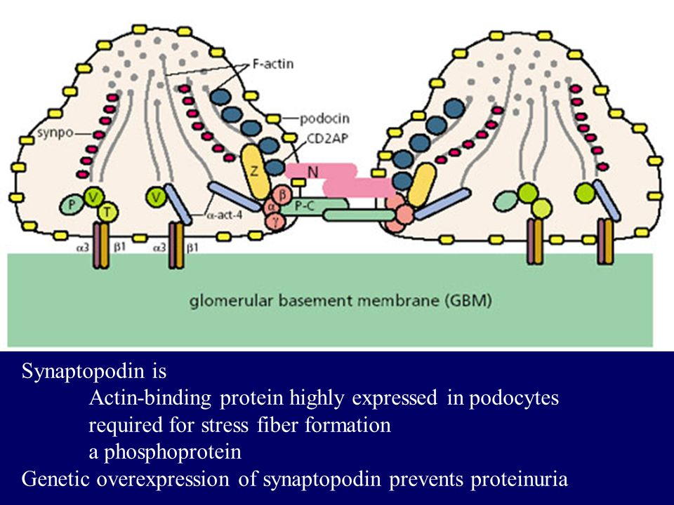 Synaptopodin is Actin-binding protein highly expressed in podocytes. required for stress fiber formation.