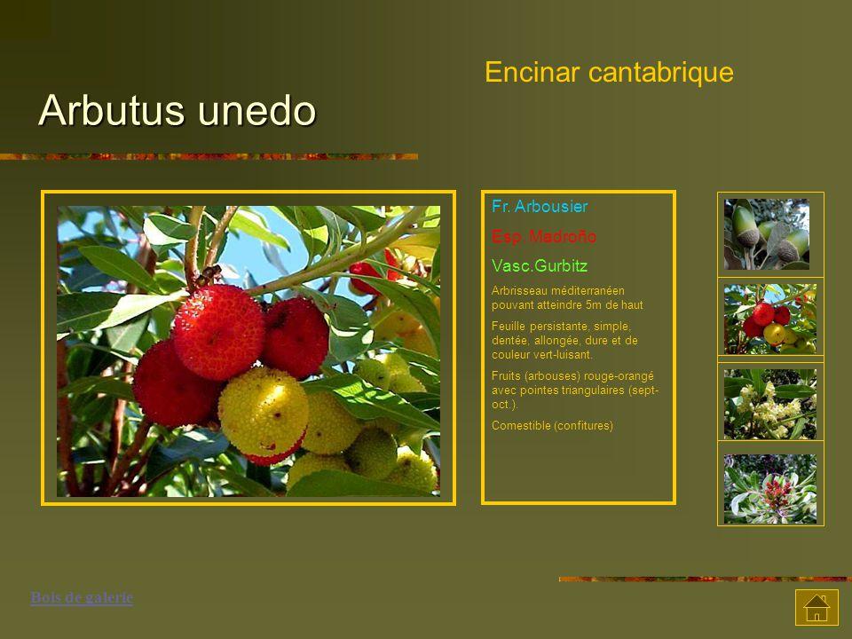 Arbutus unedo Encinar cantabrique Fr. Arbousier Esp. Madroño