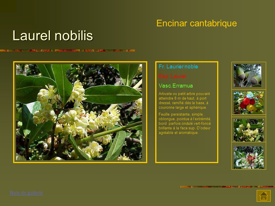 Laurel nobilis Encinar cantabrique Fr. Laurier noble Esp. Laurel