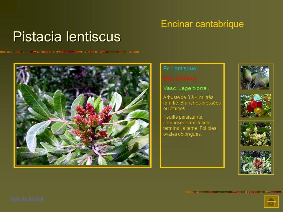 Pistacia lentiscus Encinar cantabrique Fr. Lentisque Esp. Lentisco