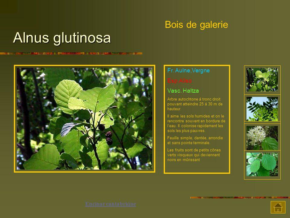 Alnus glutinosa Bois de galerie Fr. Aulne,Vergne Esp.Aliso
