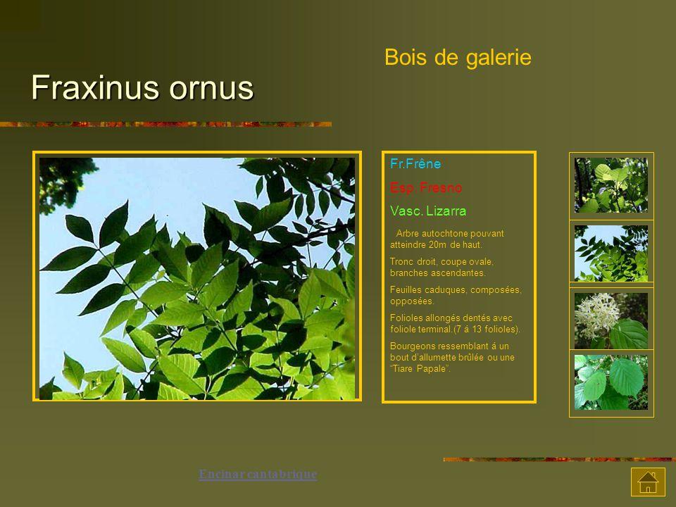 Fraxinus ornus Bois de galerie Fr.Frêne Esp. Fresno Vasc. Lizarra