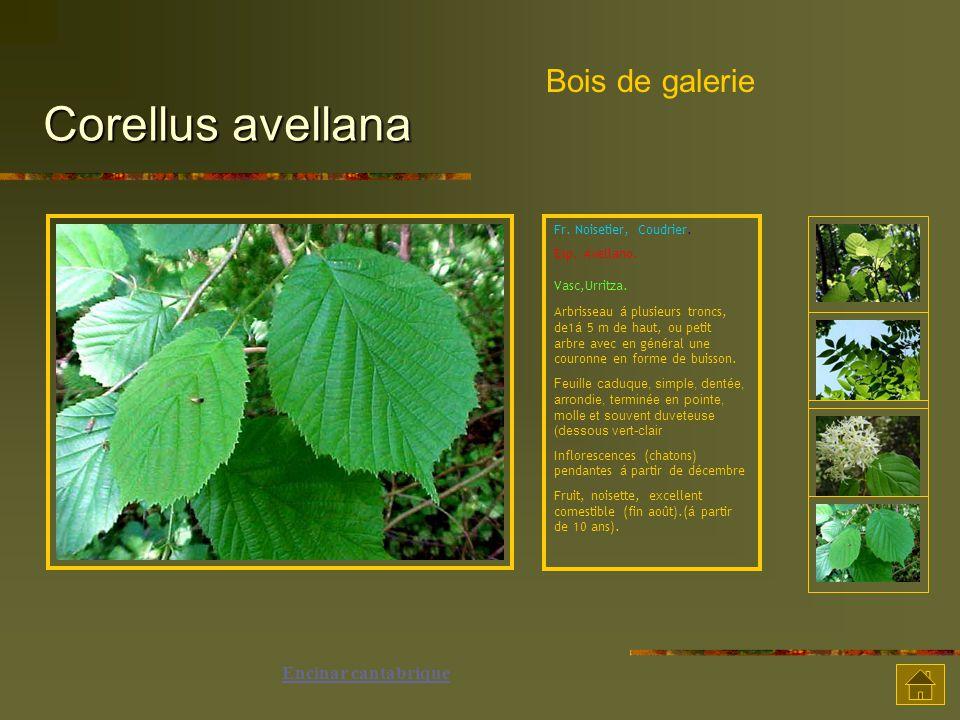 Corellus avellana Bois de galerie Encinar cantabrique