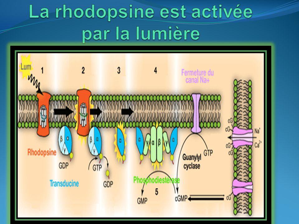 La rhodopsine est activée par la lumière