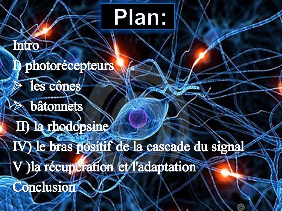 Plan: Intro I) photorécepteurs les cônes bâtonnets II) la rhodopsine