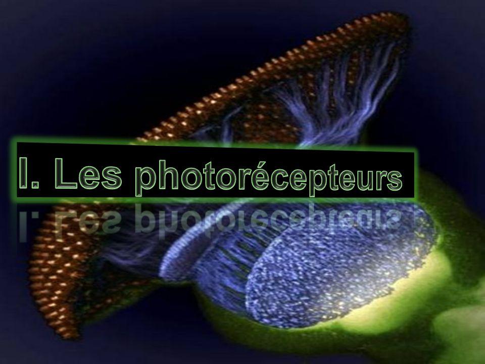 I. Les photorécepteurs