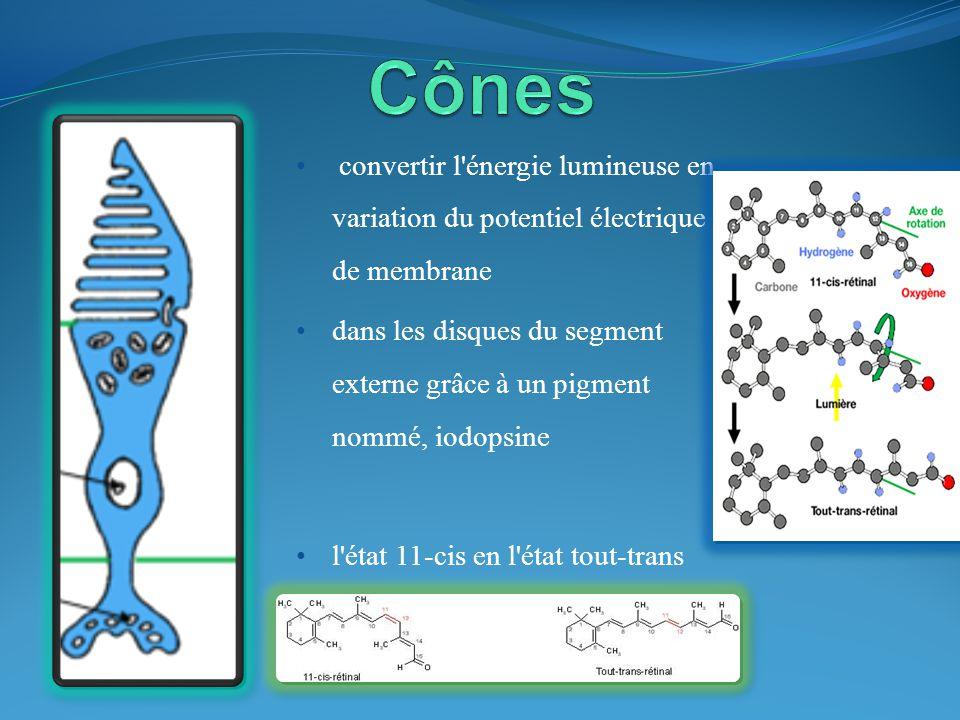 Cônes convertir l énergie lumineuse en variation du potentiel électrique de membrane.
