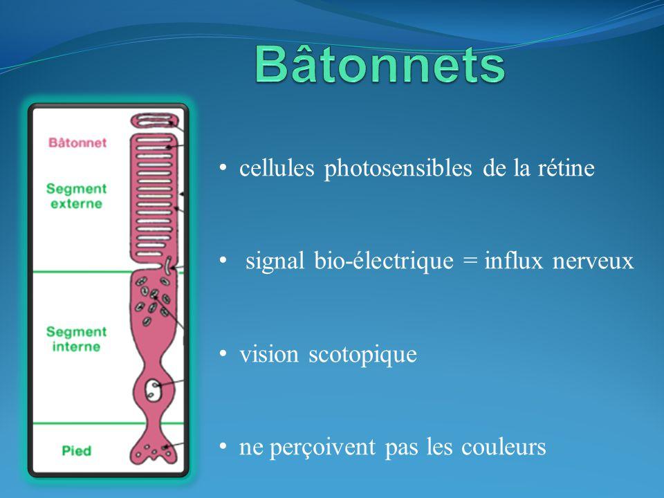 Bâtonnets cellules photosensibles de la rétine