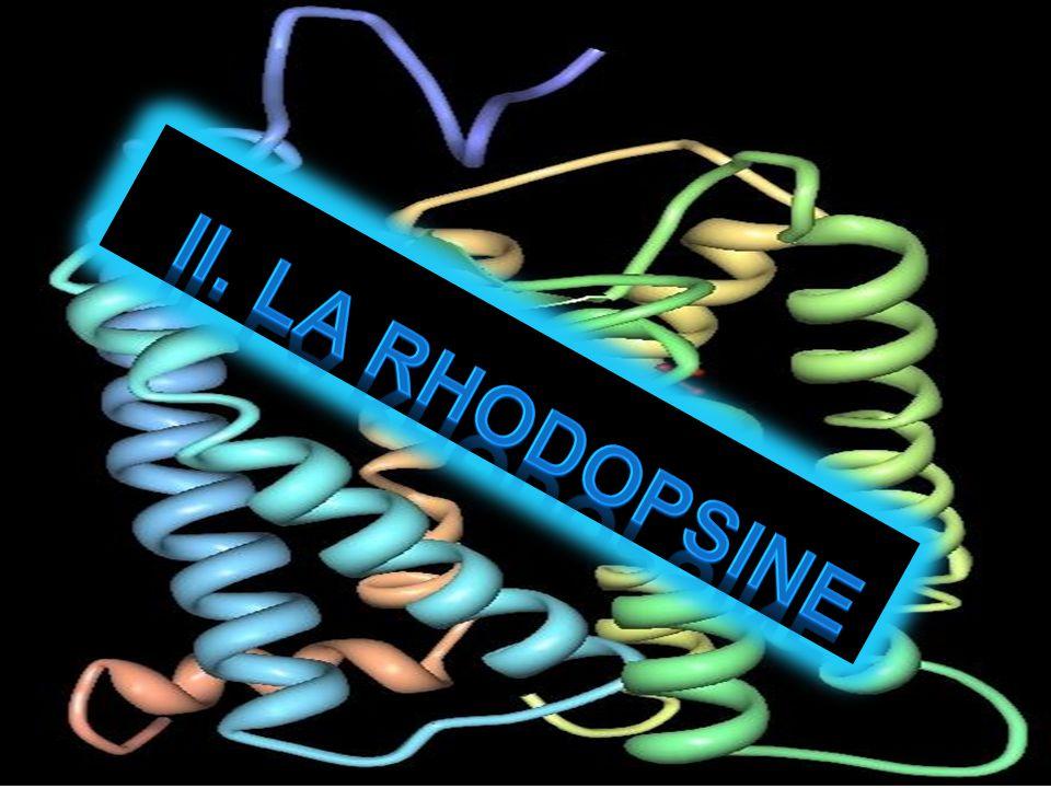 II. La Rhodopsine