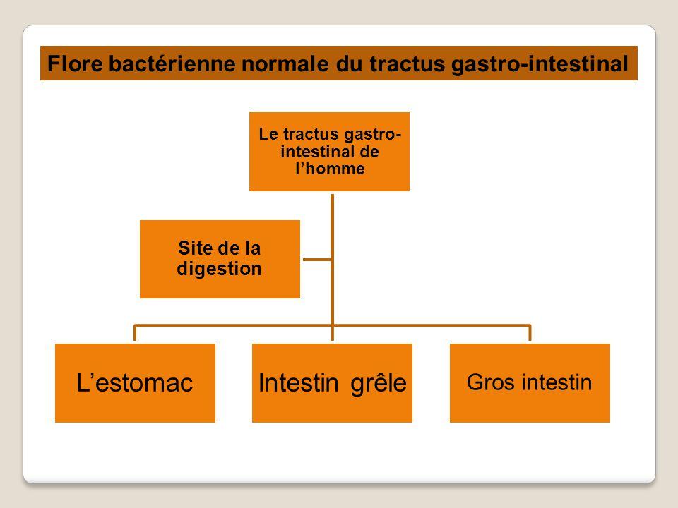 Le tractus gastro-intestinal de l'homme