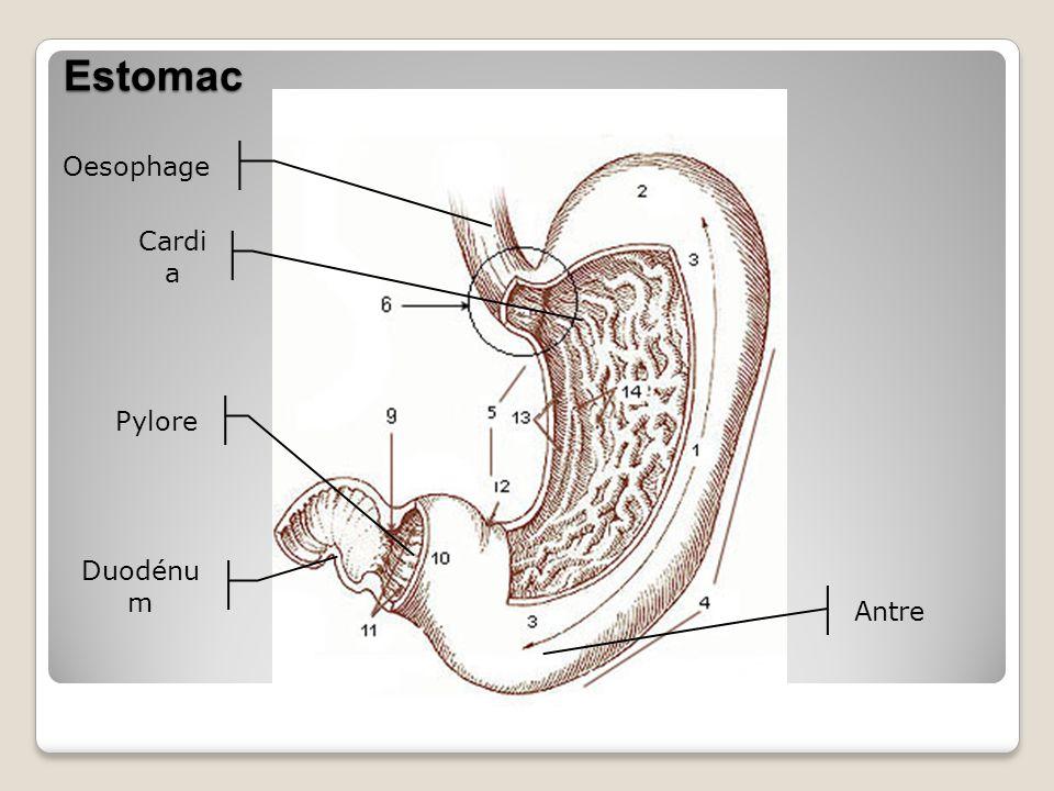 Estomac Oesophage Cardia Pylore Duodénum Antre