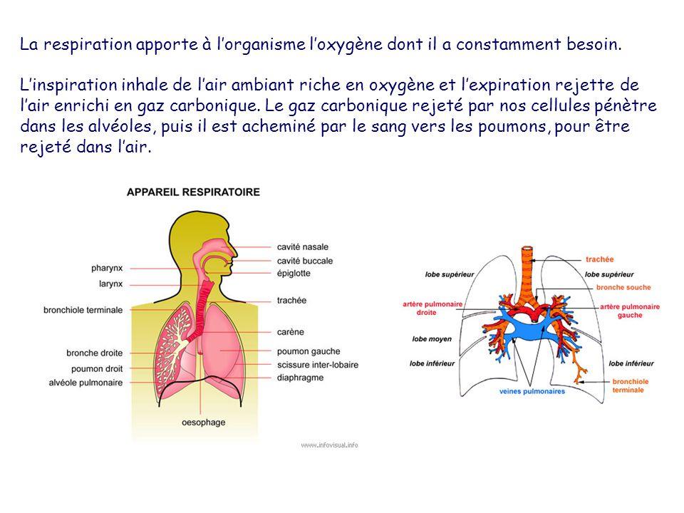 La respiration apporte à l'organisme l'oxygène dont il a constamment besoin.