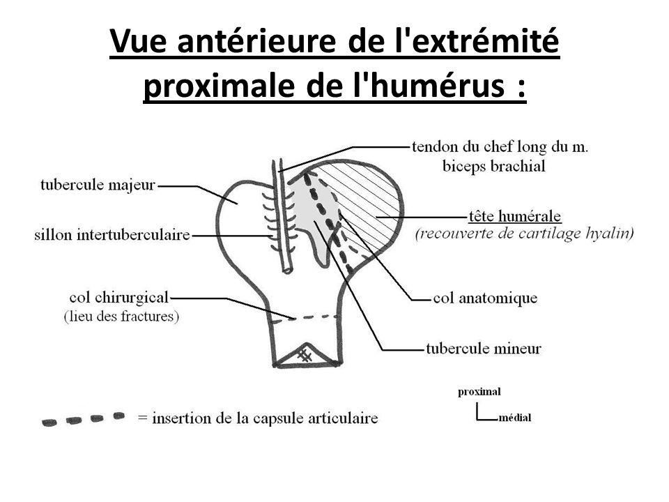 Vue antérieure de l extrémité proximale de l humérus :