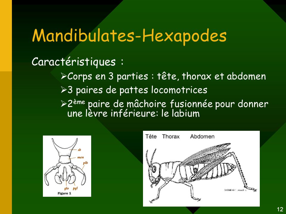 Mandibulates-Hexapodes