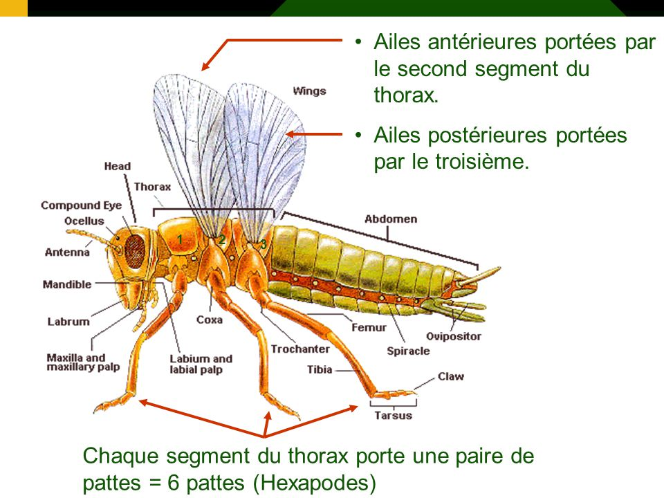 Ailes antérieures portées par le second segment du thorax.