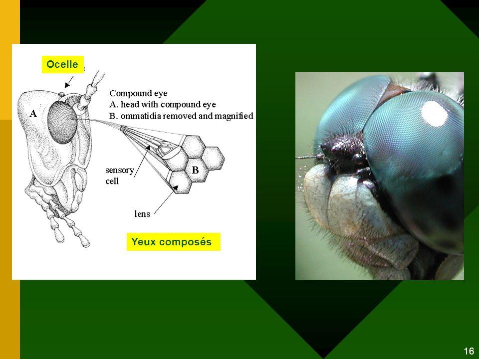 Ocelle Yeux composés