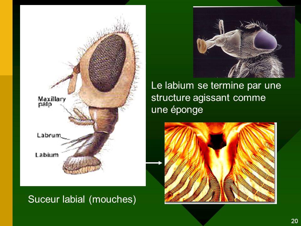 Le labium se termine par une structure agissant comme une éponge