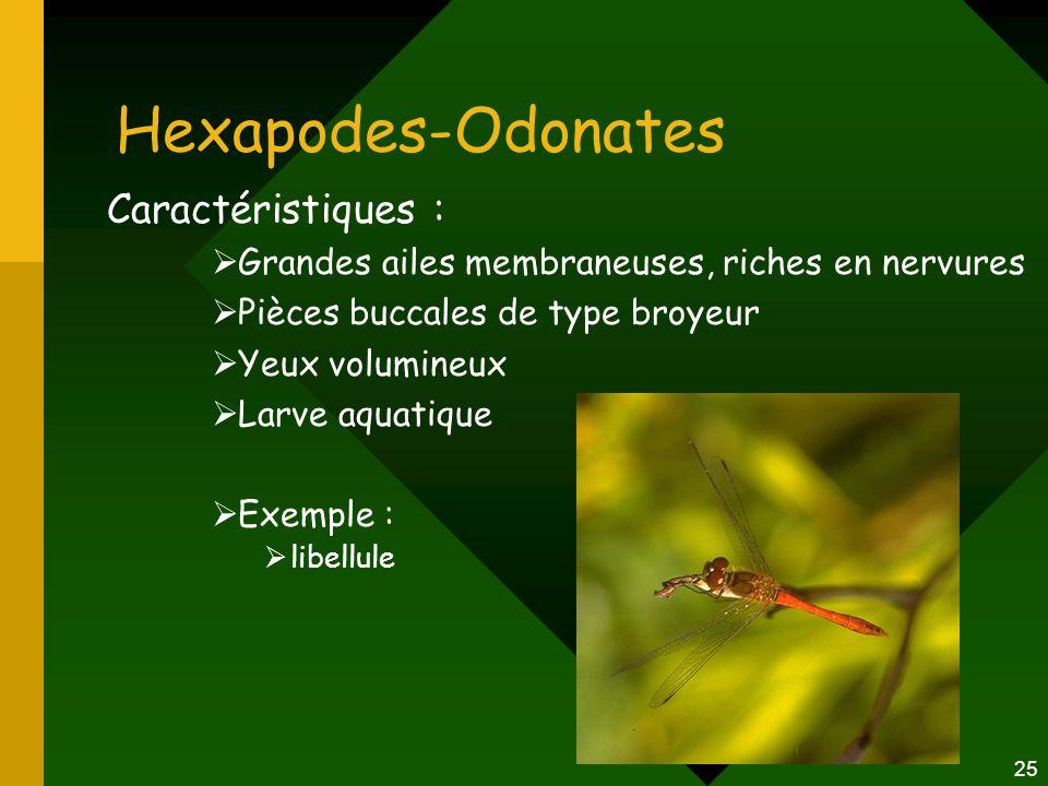 Hexapodes-Odonates Caractéristiques :