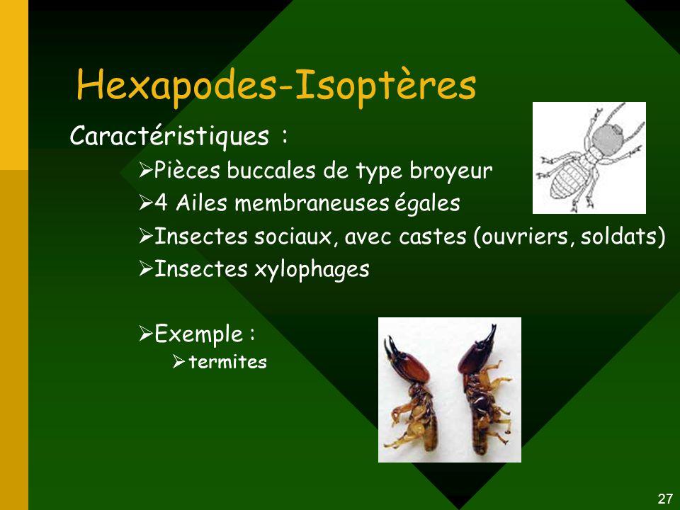 Hexapodes-Isoptères Caractéristiques : Pièces buccales de type broyeur