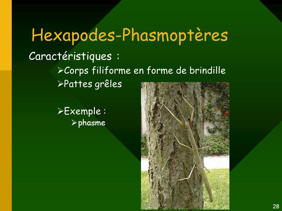 Hexapodes-Phasmoptères