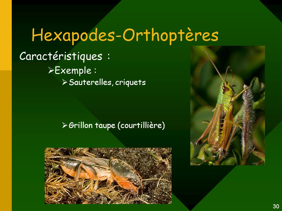Hexapodes-Orthoptères