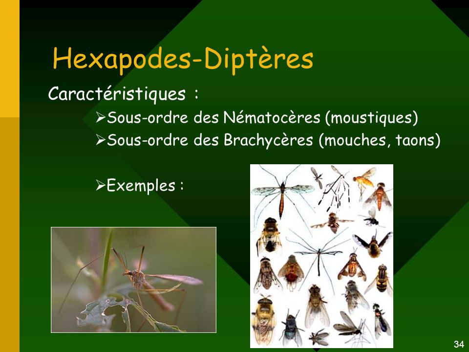 Hexapodes-Diptères Caractéristiques :