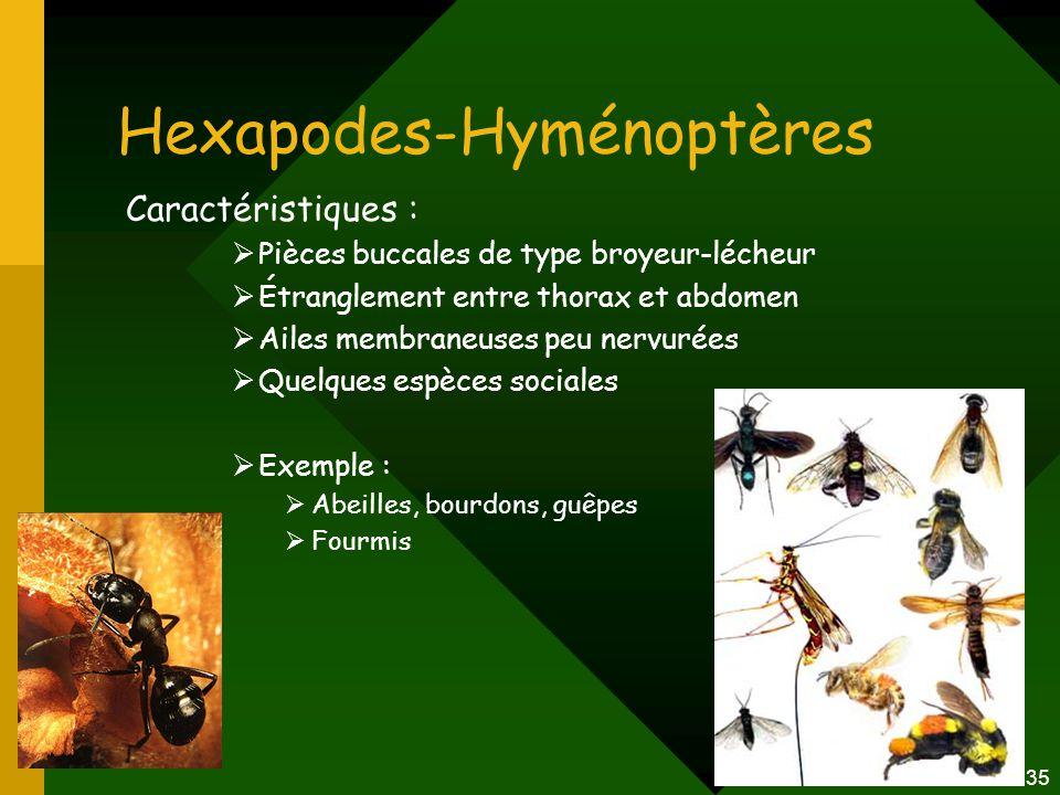 Hexapodes-Hyménoptères