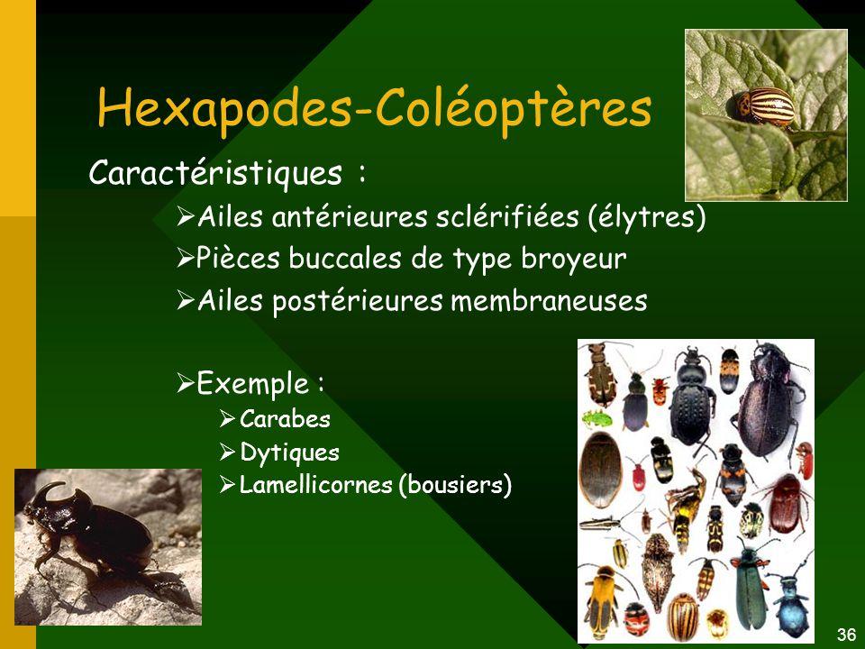 Hexapodes-Coléoptères
