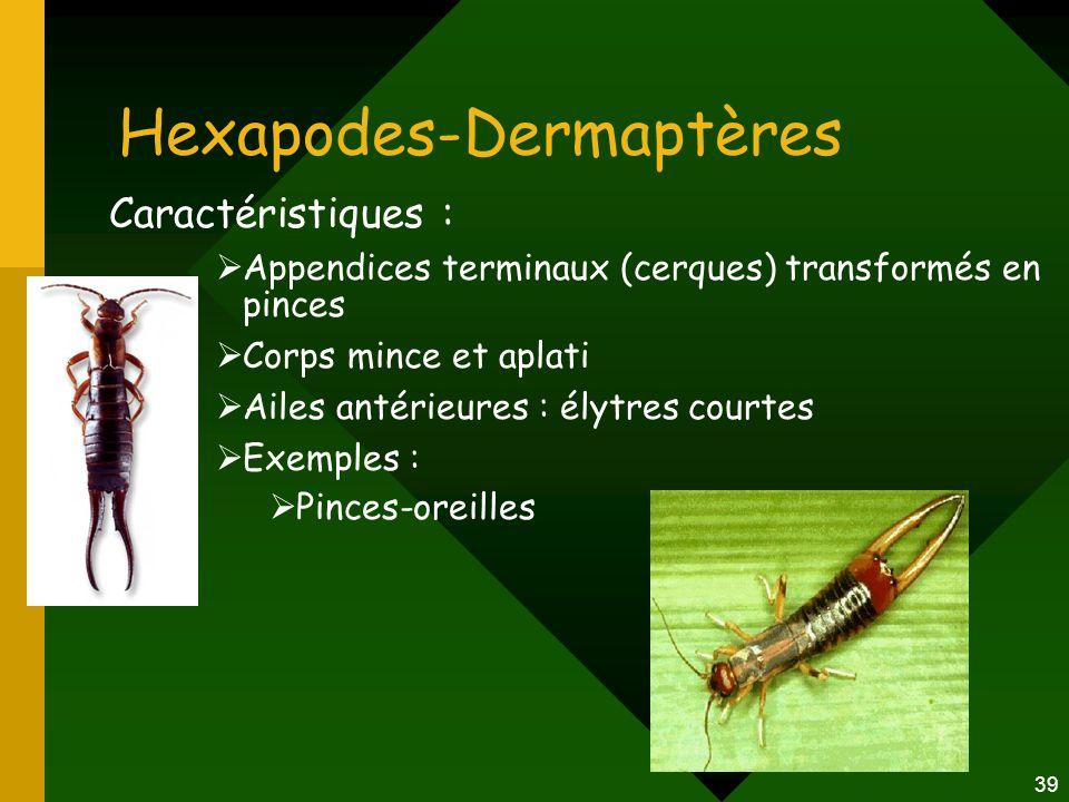 Hexapodes-Dermaptères