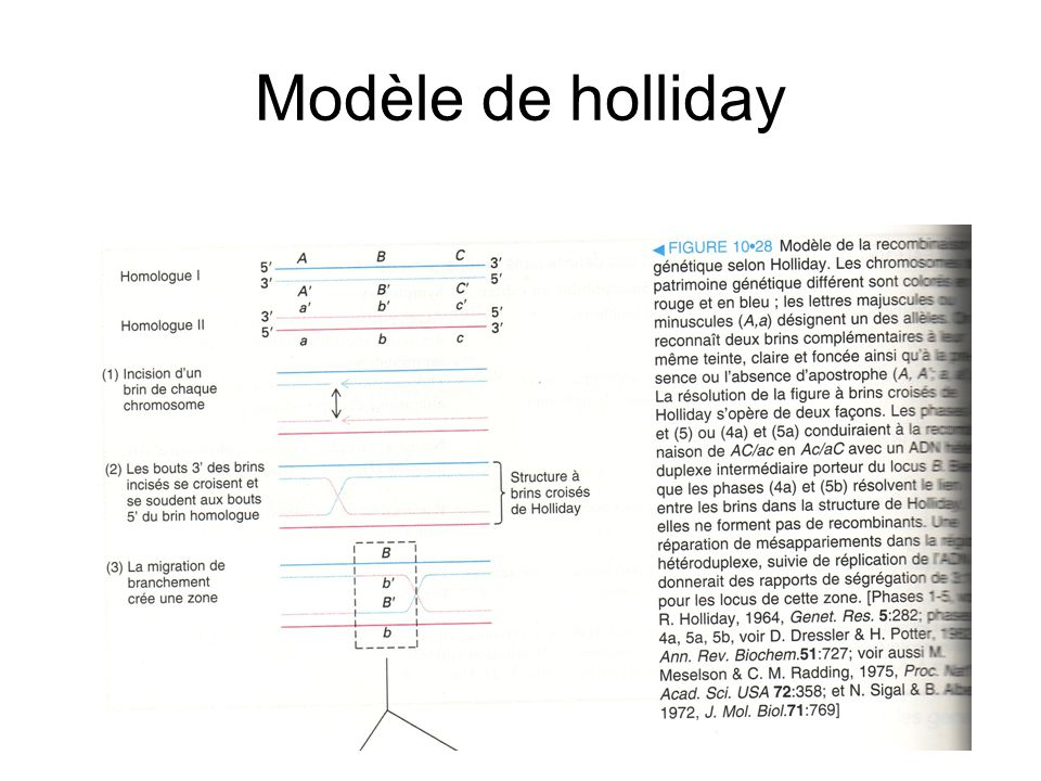Modèle de holliday