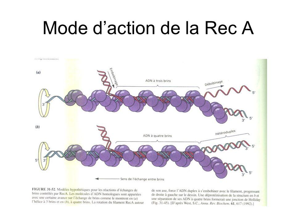 Mode d'action de la Rec A
