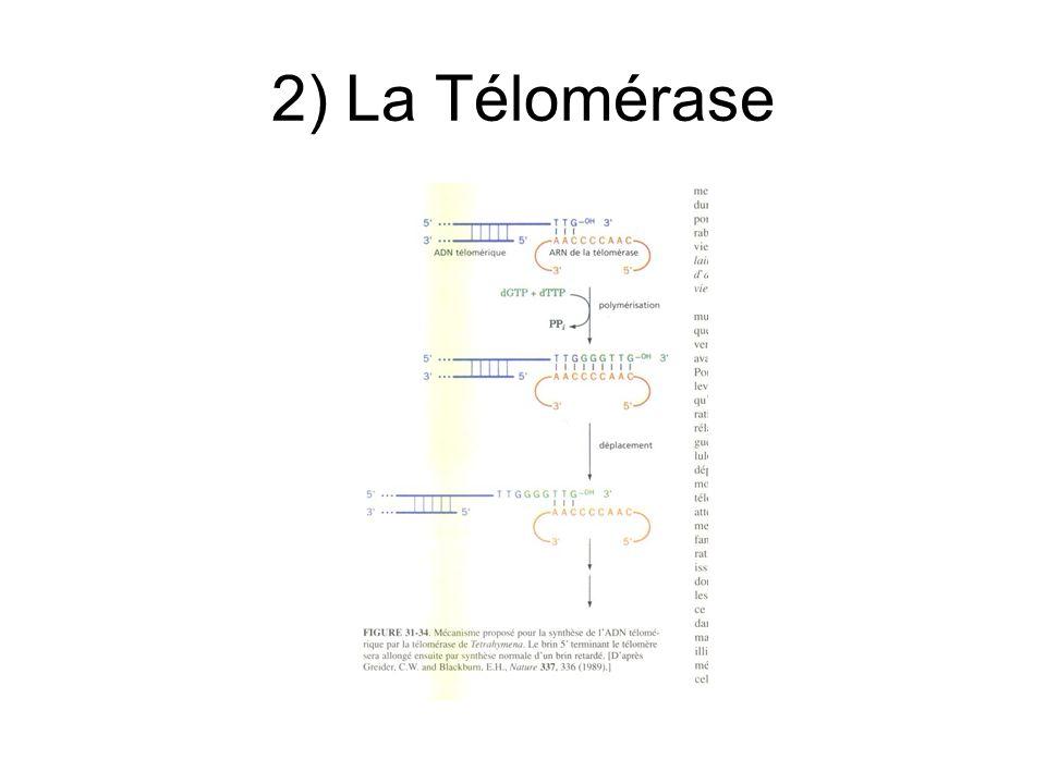 2) La Télomérase