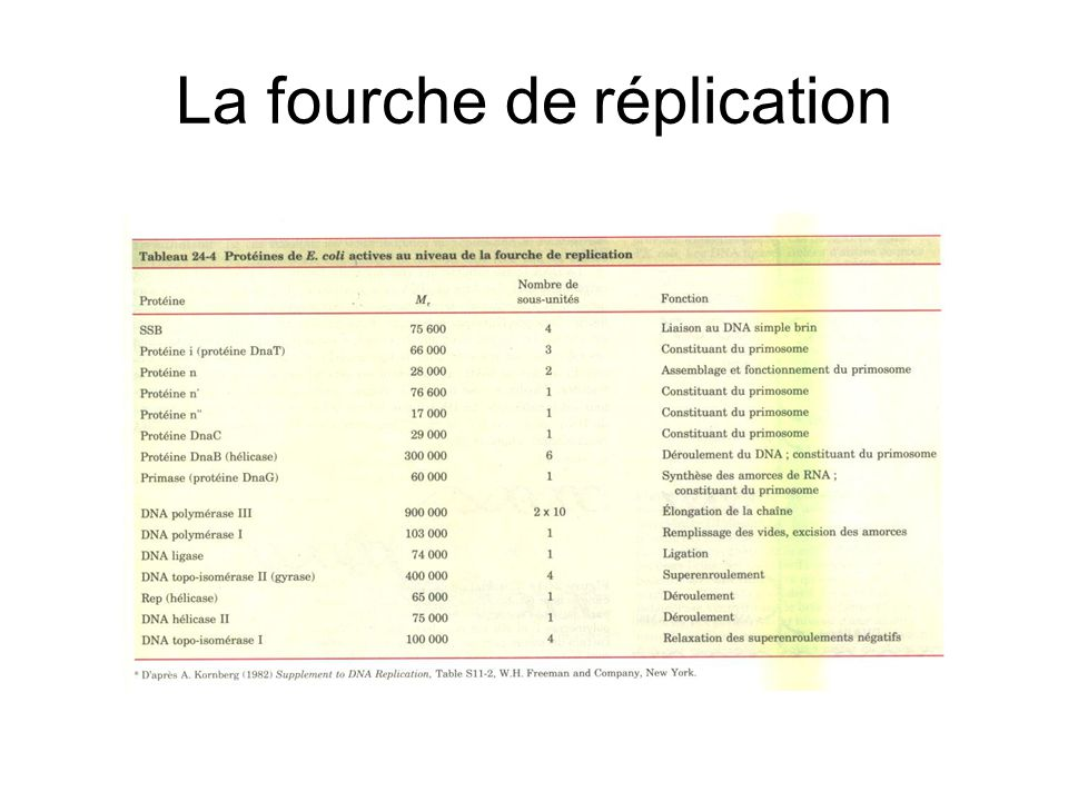 La fourche de réplication