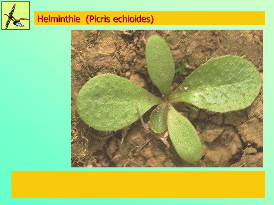 Helminthie (Picris echioides)