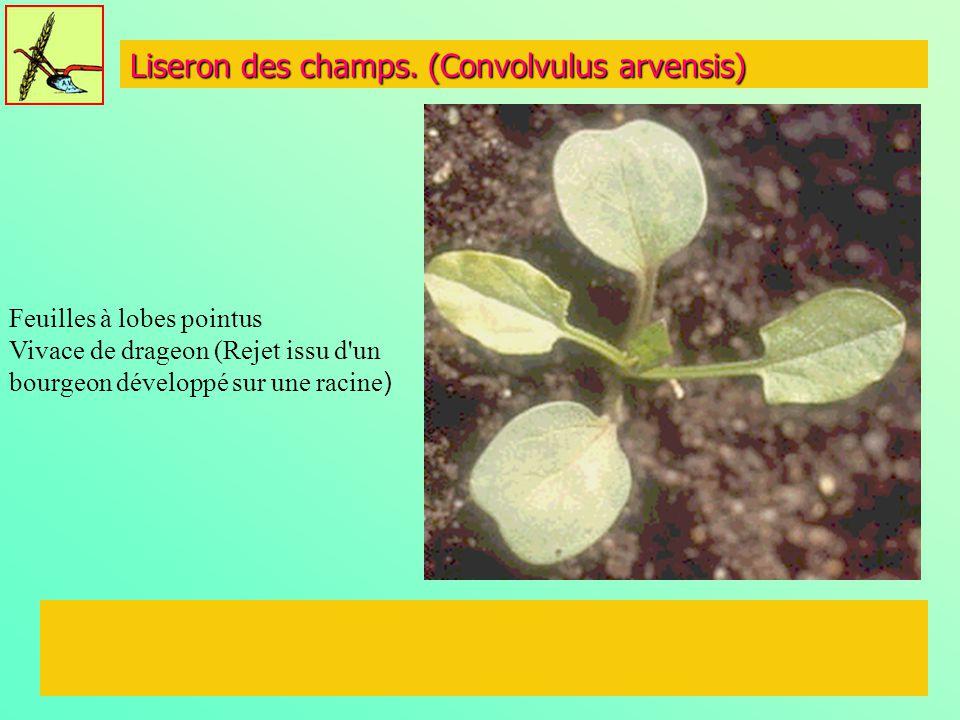 Liseron des champs. (Convolvulus arvensis)