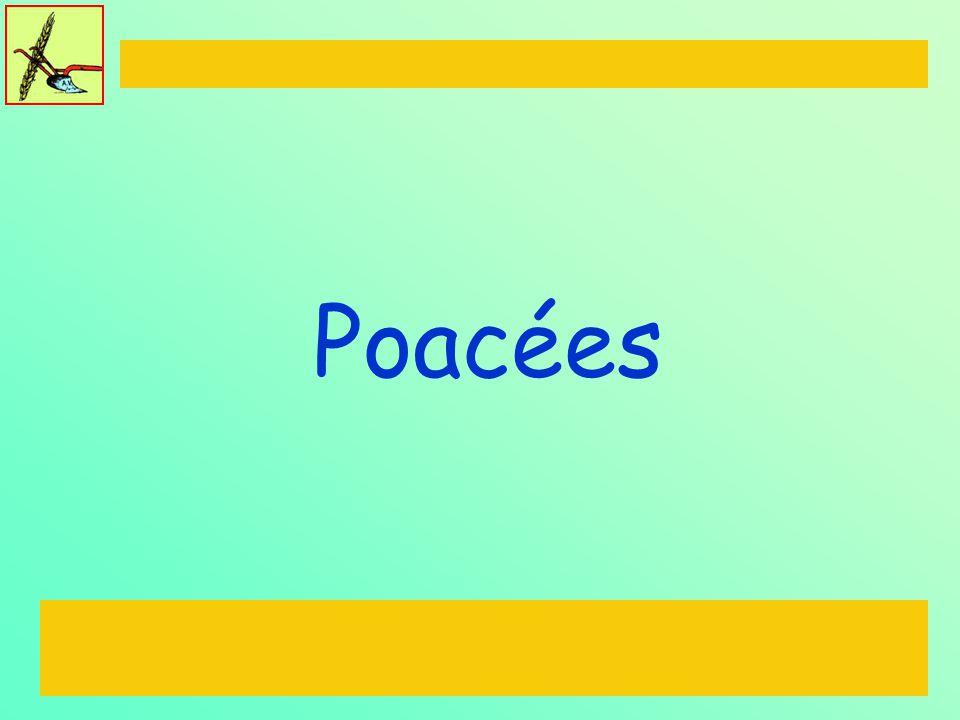 Poacées