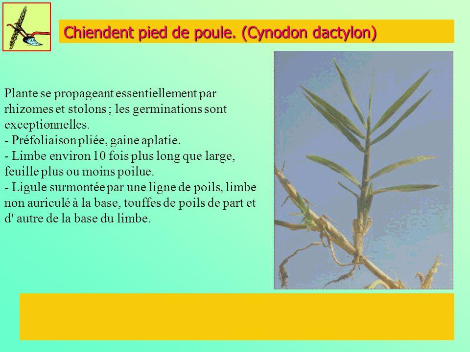 Chiendent pied de poule. (Cynodon dactylon)